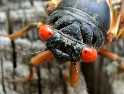 The cicadas are coming!
